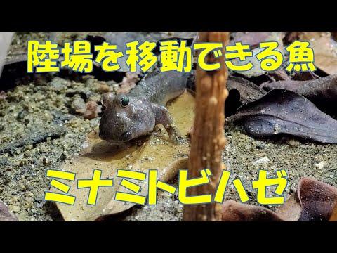 ミナミトビハゼを観察しよう Barred mudskipper