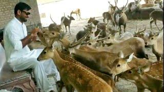Biggest Deer Farm in Punjab visit Mini Zoo - Hsn Entertainment