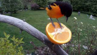 Baltimore Oriole With The GoPro Hero HD