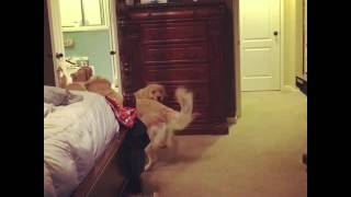 "Golden Retrievers Playing Hide And Seek. Also Known As ""Where's Mama!"""