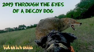 COYOTE HUNTING--THROUGH THE EYES OF A DECOY DOG