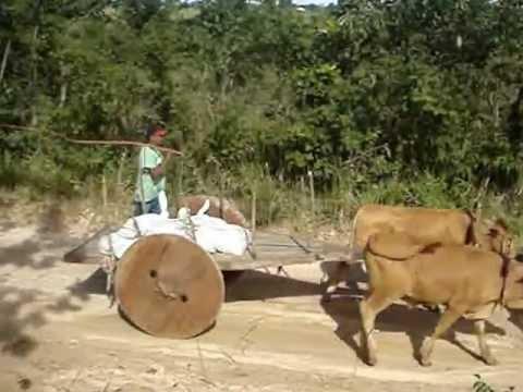 boiada de carro em Mairipotaba-go