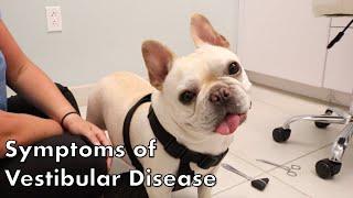 Signs of Vestibular Disease in Dogs