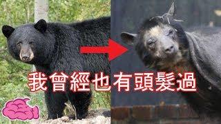 動物也會禿頭,禿頭熊的殺氣整個減弱 5隻沒了毛後讓你認不出來的動物