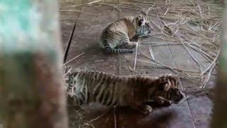 Critically endangered Sumatran tigers born
