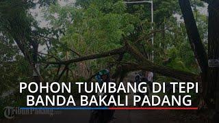 Pohon Tumbang Melintang di Jalan Tepi Banda Bakali Padang, Pemotor Nekat Lewat di Kolongnya