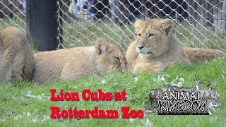 Lion cubs in Rotterdam Zoo