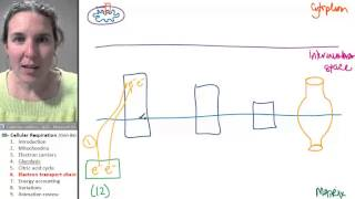 Cellular Respiration 6- Electron Transport Chain
