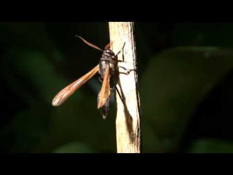 アシナガバチにハチに似たが