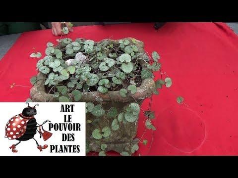 Conseil jardinage: Ceropegia woodii: Chaîne des cœurs:Entretien et arrosage plante verte d'intérieur