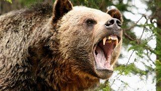 Охота медведя гризли (лат. Ursus arctos horribilis)