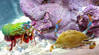 GIANT BLUE CRAB vs GIANT MANTIS SHRIMP! *Epic Battle Royale*