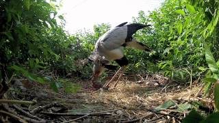 Secretary bird nest.1.mov