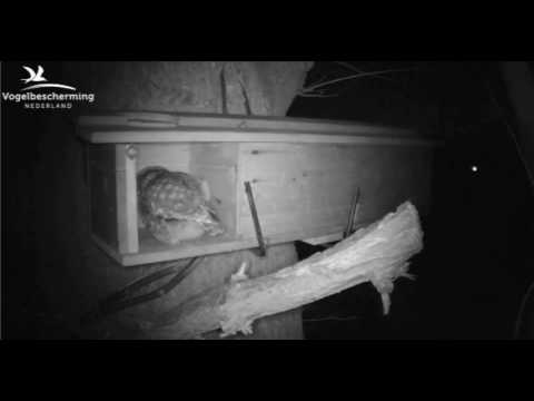 Little Owls Family 1: Fetching Mouse for Female - 02.04.17