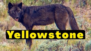 Into the Heart of Yellowstone National Park in 4k