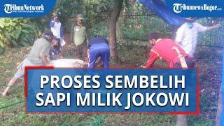 Sapi Kurban Milik Presiden Jokowi Sempat Melawan saat Akan Dipotong di Masjid Kebun Raya Bogor