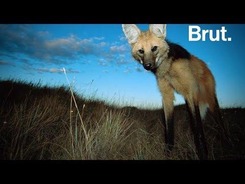Ni vraiment un loup ni un renard non plus, il est le plus grand de tous les canidés