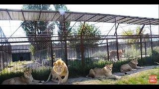Лейла прокусила колесо и львы стали собираться вокруг нас !  Lions began to gather around us