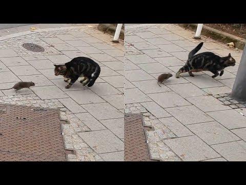 Ποντίκι κυνηγάει γάτα! Σε τι καιρούς ζούμε!