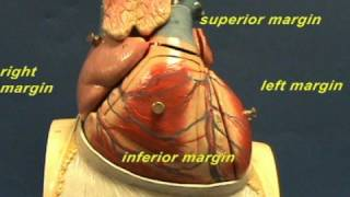 Heart - Anatomy