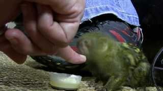 Смотреть онлайн Карликовая мартышка как домашнее животное