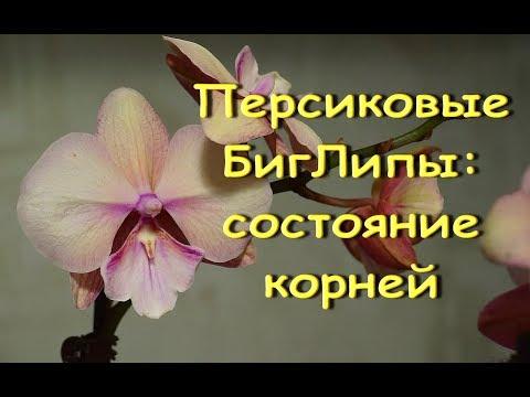 ОРХИДЕИ:персиковые БигЛипы-РЕАНИМАШКИ после пересадки.ПРИВЕТЫ Наталье и Татьяне!