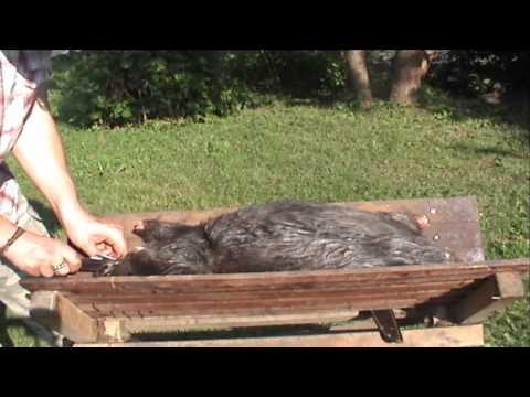 Medniekiem lv TV: par bebru medībām ar lamatām