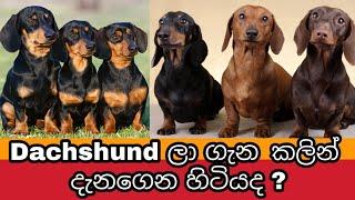 Dachshund ලා ගැන මේ ටිකත් අහලා බලන්නකෝ | Facts About Dachshund Dogs | Awata