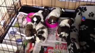 SHIH TZU PUPPY 4 WEEKS OLD STARTING WEANING ON SOLID FOOD