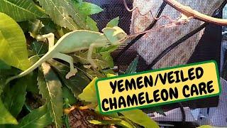 YEMEM/ VEILED CHAMELEON Care For Beginners, Tanks, Food ,Equipment ,Behaviour(Snake Island Exotics)