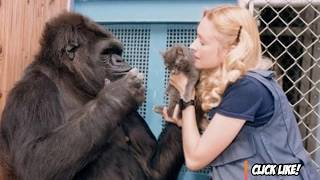 Talking Gorilla Passes Away - Koko the Gorilla RIP - Sign Language
