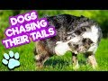 Dogs Chasing Their Tails | Funny Dog Compilation | Happy National Puppy Day from #thatpetlife