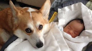 Funny Dogs Protecting Babies Compilation (2017)
