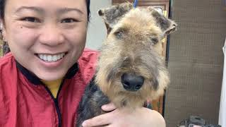 How to Trim (handstrip) an Airedale Terrier Puppy's Face