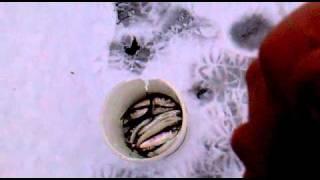 Ловля салаки в финском заливе