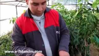 Roka Tohumu Nasıl Ekilir Çimlendirilir