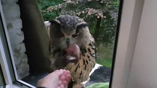 Give the eagle-owl food and go away!