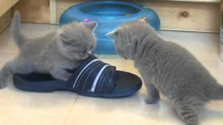 британские кошки, Веселые игры британских котят.