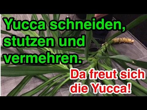 Yuccapalmen richtig schneiden und stutzen