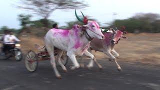 Combination Of Small And Big Bulls   Tungala Race