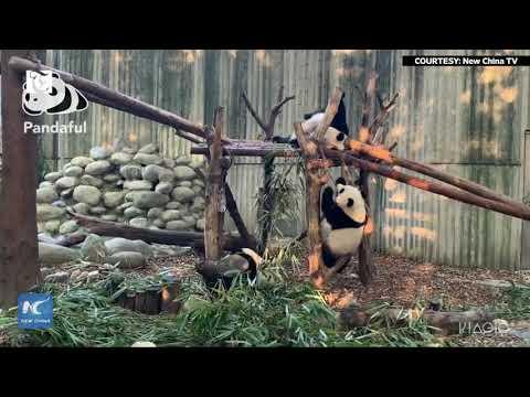 Pandas' rack climbing competition