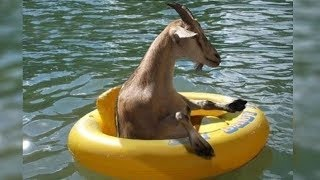 This Is Why GOATS&SHEEP Are The FUNNIEST ANIMALS