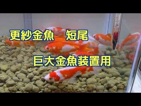 金魚 更紗和金 短尾 巨大金魚装置検証用 巨大化するか!sarasa Goldfish