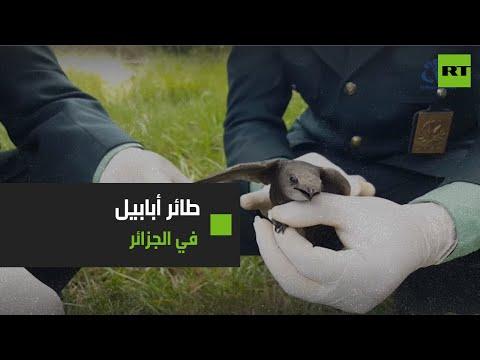 جدل على مواقع التواصل بعد العثور على 'طائر أبابيل' في الجزائر (فيديو)