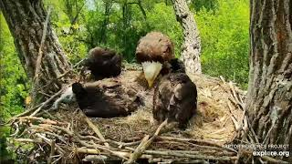 Decorah Eagles 5-20-20, 2 pm Mom brings squirrel