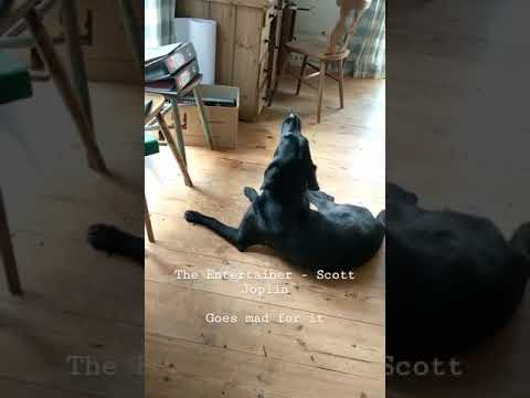 dog only sings along to one specific piano song