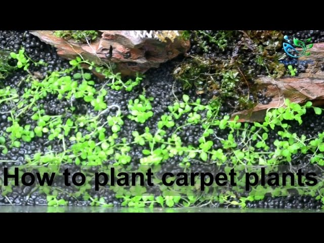 Aquascaping for beginners : How to plant carpet plants