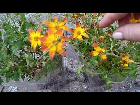 Биденс-лучшее растение для клумб и балконов