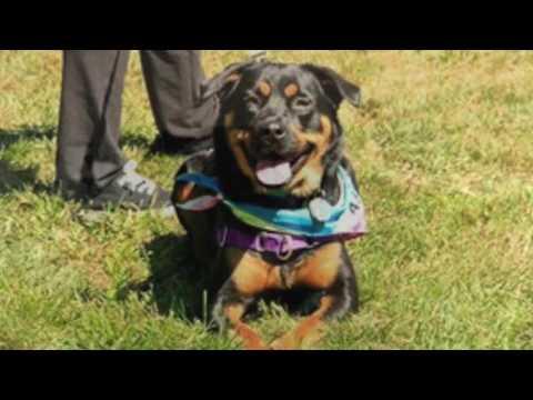 Rachel, an adopted Rottweiler Mix in Kimberton, PA