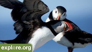 2019 Puffin Season with Keenan Yakola - Live Chat